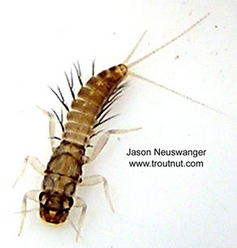 Paraleptophlebia (Blue Quills and Mahogany Duns) Mayfly Nymph from unknown in Wisconsin