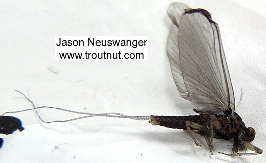 Male Baetidae (Blue-Winged Olives) Mayfly Dun from unknown in Wisconsin