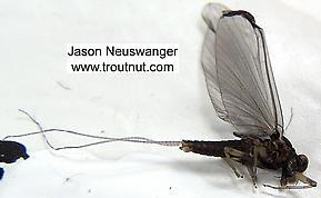 Male Baetidae (Blue-Winged Olives) Mayfly Dun
