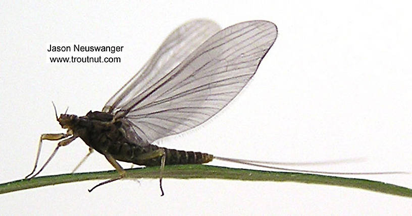 Female Acentrella (Tiny Blue-Winged Olives) Mayfly Dun from unknown in Wisconsin