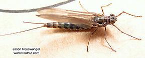 Female Siphlonurus quebecensis (Gray Drake) Mayfly Dun