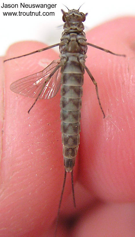 Female Siphlonurus quebecensis (Gray Drake) Mayfly Dun from unknown in Wisconsin