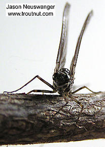 Female Siphlonurus quebecensis (Gray Drake) Mayfly Dun
