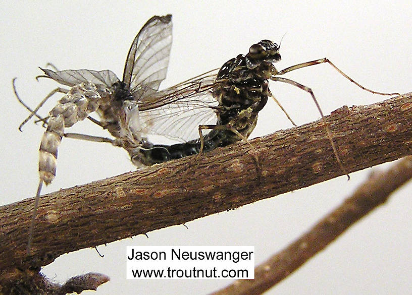 Female Siphlonurus quebecensis (Gray Drake) Mayfly Spinner from unknown in Wisconsin