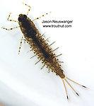 Siphloplecton basale (Pseudo-Gray Drake) Mayfly Nymph