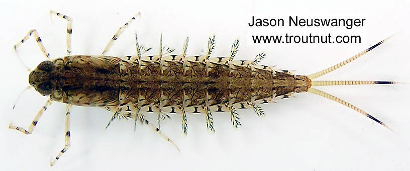 Siphloplecton (Pseudo-Gray Drakes) Mayfly Nymph from unknown in Wisconsin