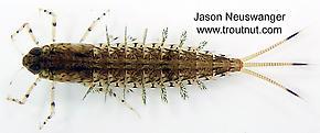Siphloplecton (Pseudo-Gray Drakes) Mayfly Nymph