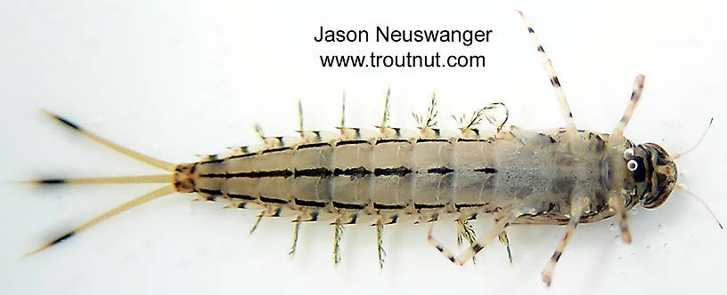 Siphloplecton basale (Pseudo-Gray Drake) Mayfly Nymph from unknown in Wisconsin