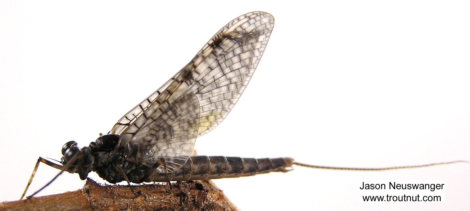 Male Siphloplecton basale (Pseudo-Gray Drake) Mayfly Dun from the Namekagon River in Wisconsin