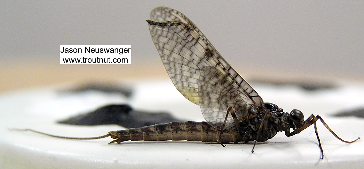 Male Siphloplecton basale (Pseudo-Gray Drake) Mayfly Dun from the Namekagon River in Wisconsin