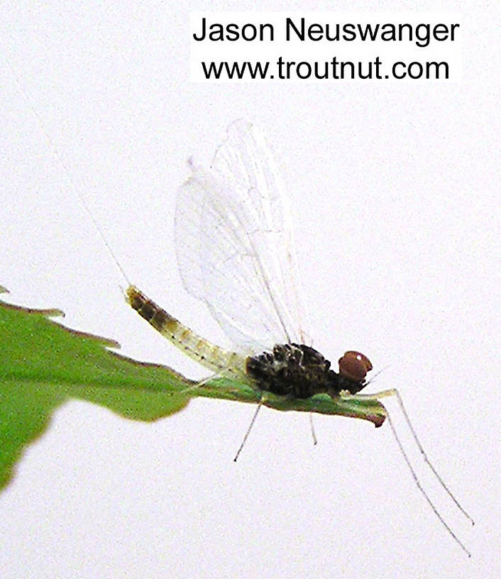 Male Baetidae (Blue-Winged Olives) Mayfly Spinner from unknown in Wisconsin