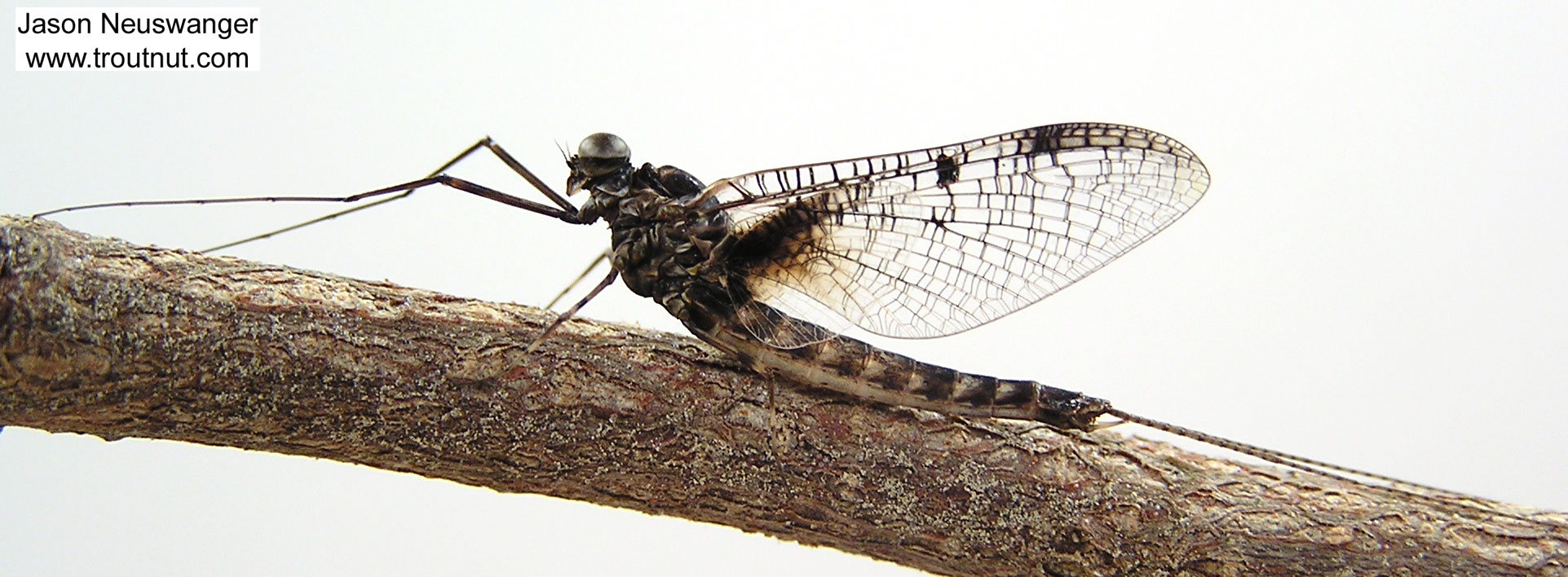 Male Siphloplecton basale (Pseudo-Gray Drake) Mayfly Spinner from the Namekagon River in Wisconsin