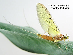 Female Stenacron (Light Cahills) Mayfly Dun
