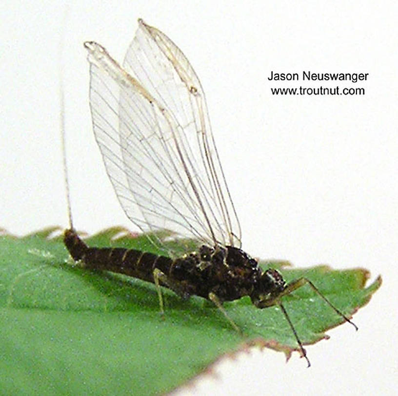 Female Baetidae (Blue-Winged Olives) Mayfly Spinner from unknown in Wisconsin