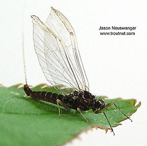 Female Baetidae (Blue-Winged Olives) Mayfly Spinner