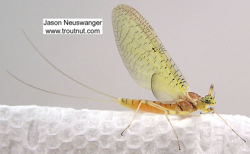 Female Stenacron (Light Cahills) Mayfly Dun from the Couderay River in Wisconsin
