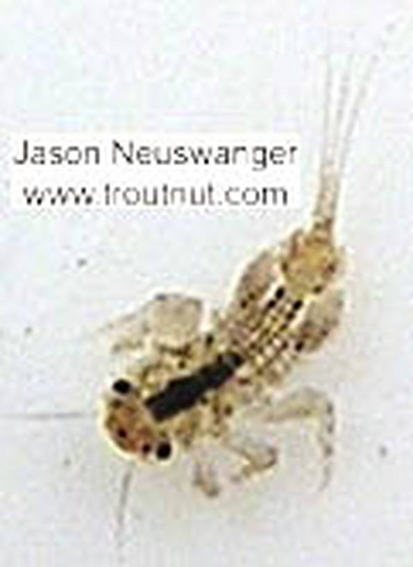 Eurylophella (Chocolate Duns) Mayfly Nymph from unknown in Wisconsin