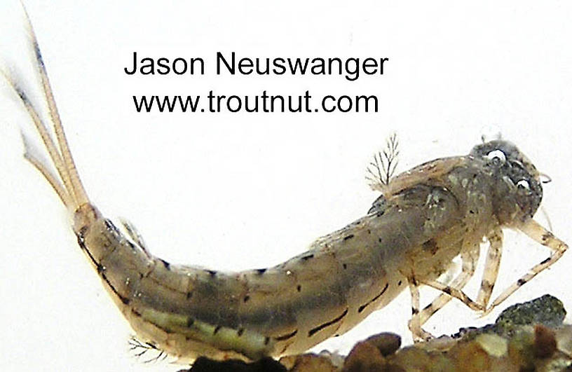 Siphloplecton basale (Pseudo-Gray Drake) Mayfly Nymph from the Namekagon River in Wisconsin