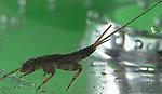 Maccaffertium vicarium (March Brown) Mayfly Nymph