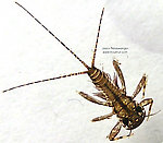 Maccaffertium (March Browns and Cahills) Mayfly Nymph