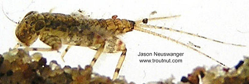 Maccaffertium luteum Mayfly Nymph from unknown in Wisconsin