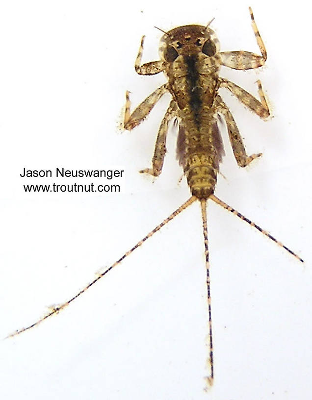 Maccaffertium (March Browns and Cahills) Mayfly Nymph from unknown in Wisconsin