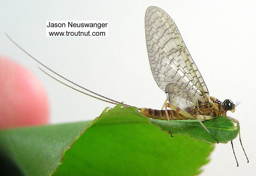 Male Maccaffertium vicarium (March Brown) Mayfly Dun from the Namekagon River in Wisconsin