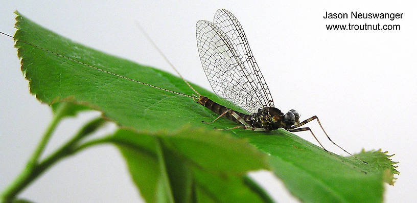 Male Maccaffertium vicarium (March Brown) Mayfly Spinner from unknown in Wisconsin