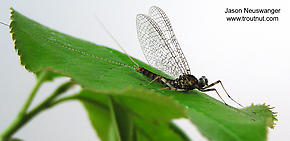 Male Maccaffertium vicarium (March Brown) Mayfly Spinner