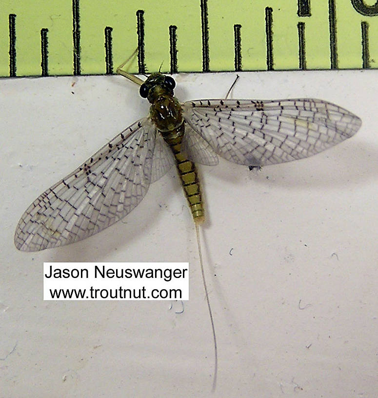 Female Leucrocuta hebe (Little Yellow Quill) Mayfly Dun from unknown in Wisconsin