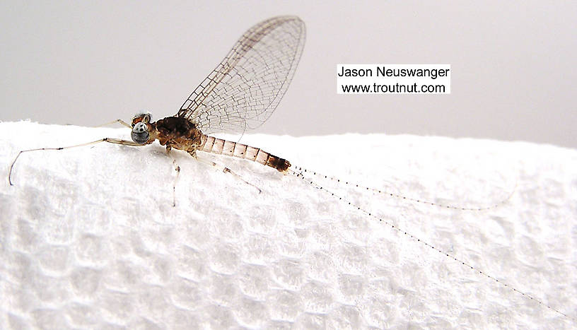 Male Maccaffertium modestum (Cream Cahill) Mayfly Spinner from unknown in Wisconsin