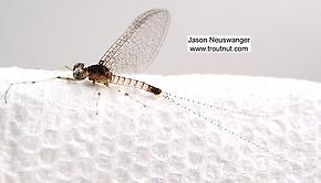 Male Maccaffertium modestum (Cream Cahill) Mayfly Spinner