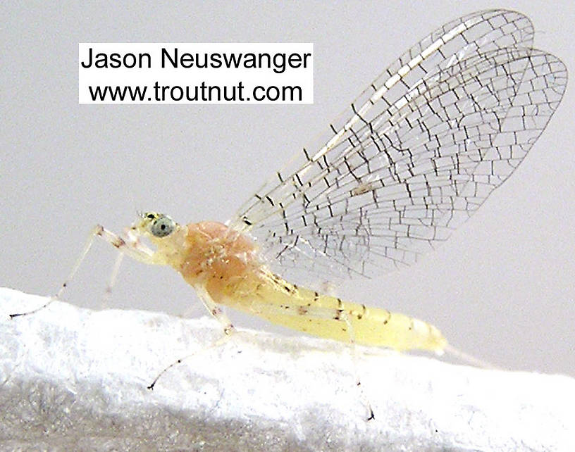 Female Maccaffertium modestum (Cream Cahill) Mayfly Spinner from unknown in Wisconsin