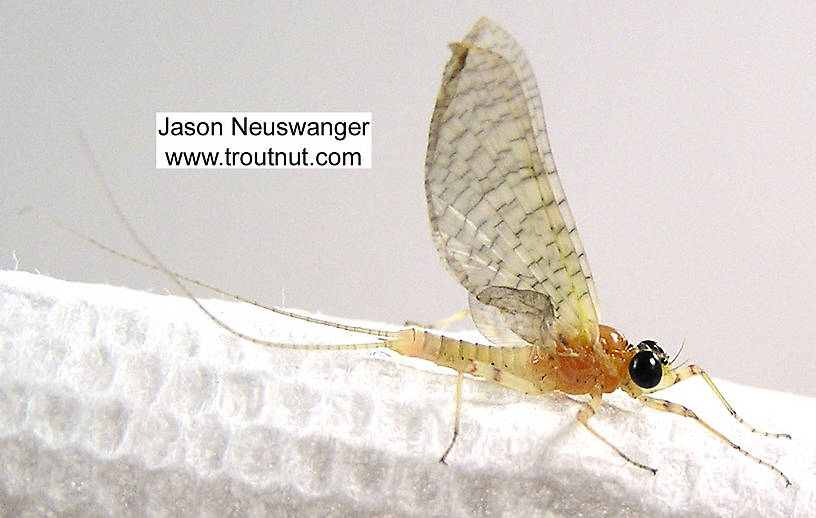 Male Heptageniidae (March Browns, Cahills, Quill Gordons) Mayfly Dun from unknown in Wisconsin