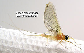Male Heptageniidae (March Browns, Cahills, Quill Gordons) Mayfly Dun