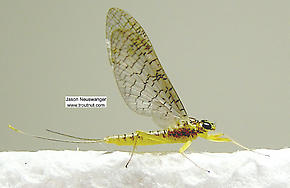 Female Leucrocuta hebe (Little Yellow Quill) Mayfly Dun