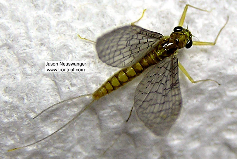 Female Leucrocuta hebe (Little Yellow Quill) Mayfly Dun from the Beaverkill River in New York