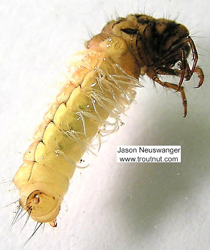 Limnephilus (Summer Flier Sedges) Caddisfly Larva from unknown in Wisconsin