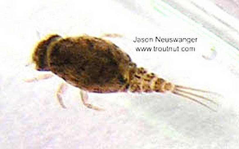 Baetisca laurentina (Armored Mayfly) Mayfly Nymph from unknown in Wisconsin