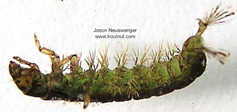 Hydropsychidae Caddisfly Larva from unknown in Wisconsin