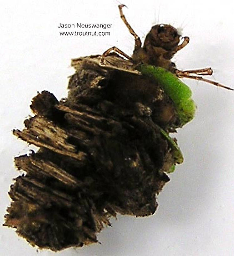 Platycentropus (Chocolate and Cream Sedges) Caddisfly Larva from unknown in Wisconsin