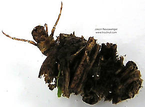 Platycentropus (Chocolate and Cream Sedges) Caddisfly Larva
