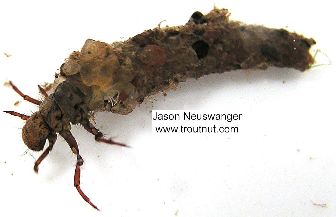 Trichoptera (Caddisflies) Caddisfly Larva from unknown in Wisconsin