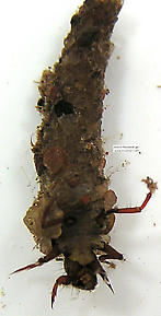 Trichoptera (Caddisflies) Insect Larva