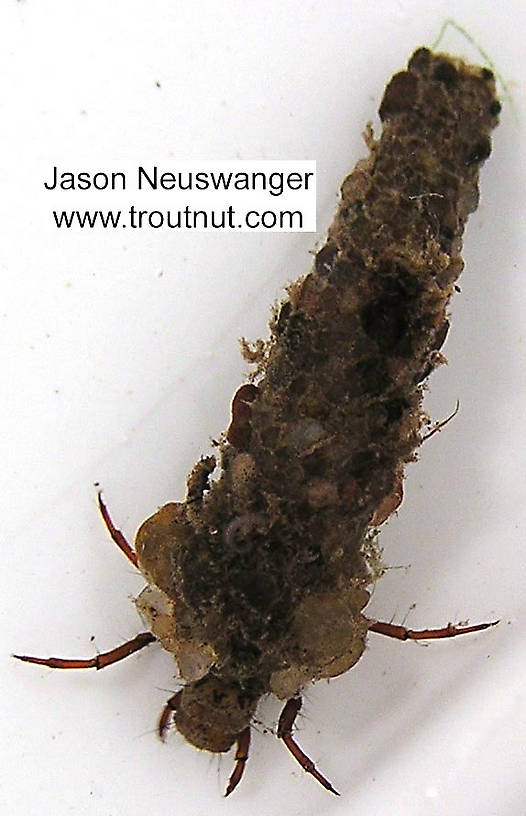 Trichoptera (Caddisflies) Caddisfly Larva from unknown in Wisconsin