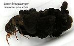Limnephilidae (Northern Caddisflies) Caddisfly Larva