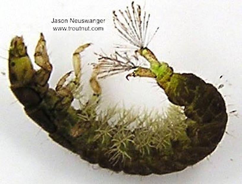 Hydropsychidae Caddisfly Larva from unknown in Wisconsin