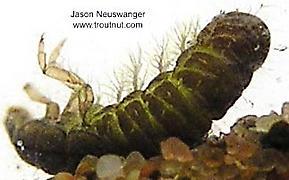 Hydropsychidae  Caddisfly Larva