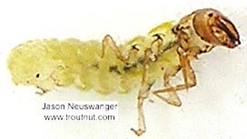 Dolophilodes distinctus (Tiny Black Gold Speckled-Winged Caddis) Caddisfly Larva from unknown in Wisconsin