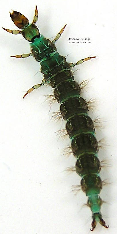 Rhyacophila brunnea (Green Sedge) Caddisfly Larva from unknown in Wisconsin
